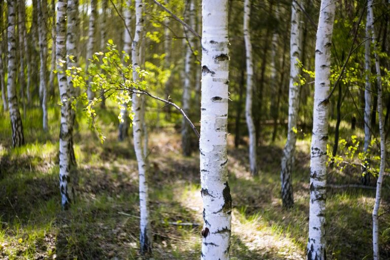 Birch Leaf for Hair Loss: Are Birch Shampoo and Tonic Worth Buying?