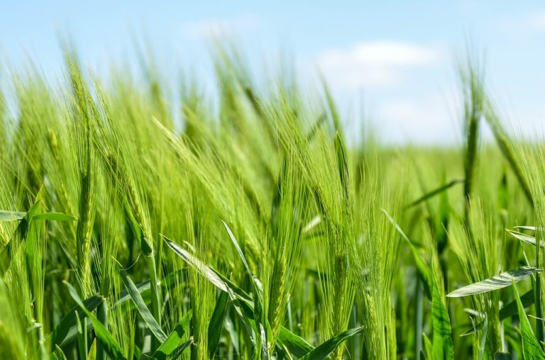 Barley Grass for Hair Growth: Power Food for Your Hair