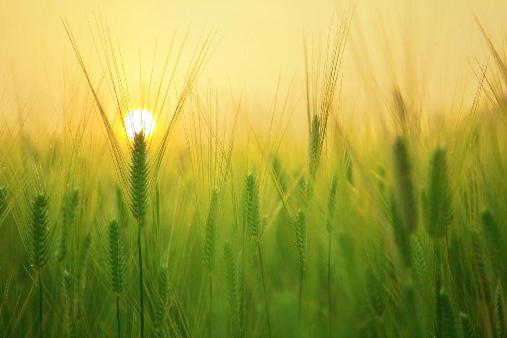 barley grass powder hair