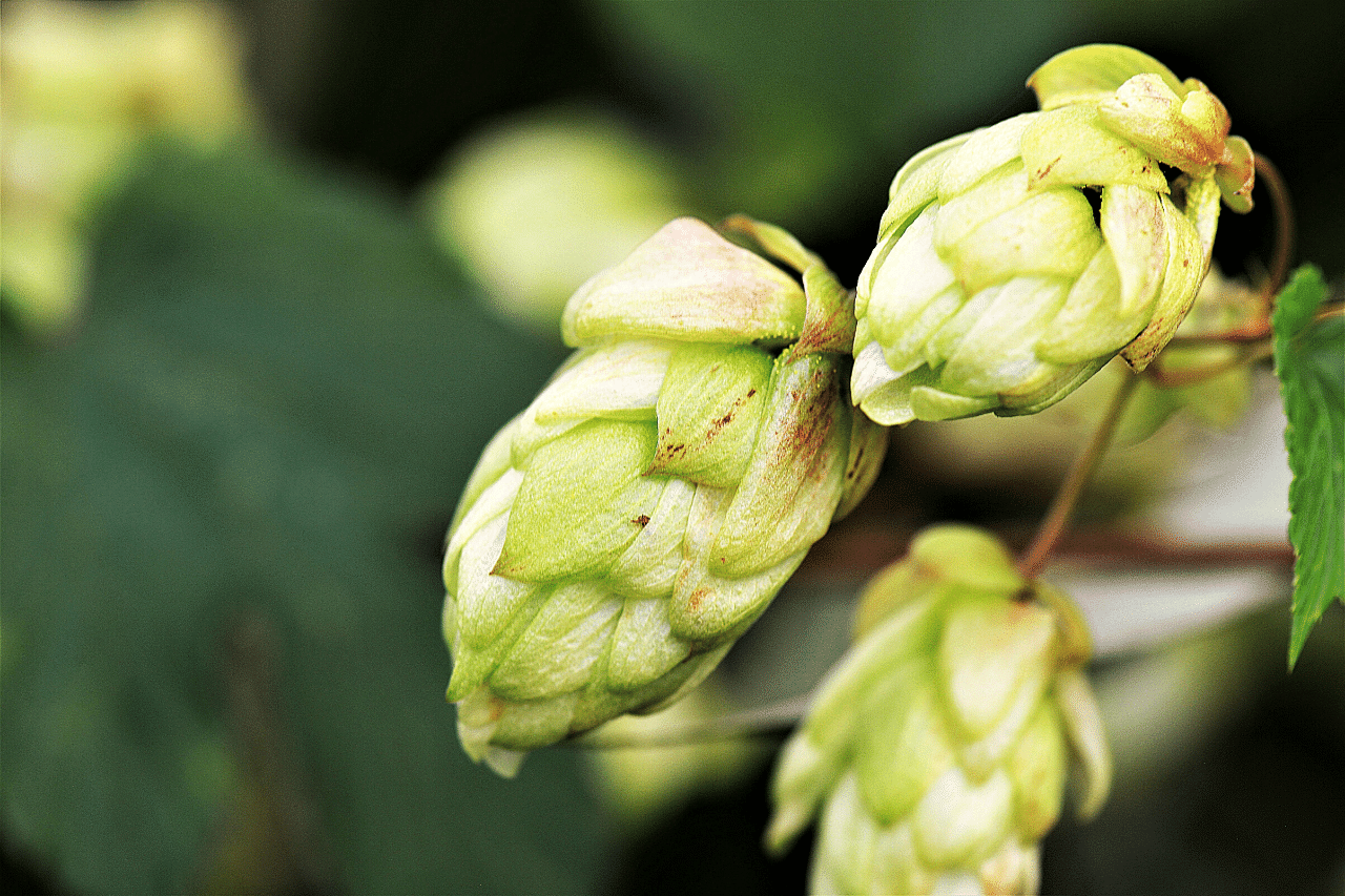 Hops Extract for Hair Growth Reduces Hair Loss and Scalp Itchiness